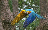 Blue and Gold Macaw_.jpg
