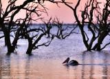 Pamamaroo Lake Pelican.jpg