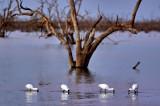 Pamamaroo Lake Spoonbills.jpg