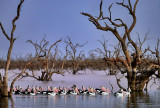 Pamamaroo Lake Pelicans_2.jpg