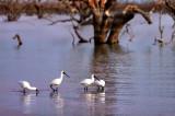 Pamamaroo_Lake Spoonbills.jpg