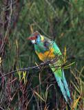 Yellow Neck Parrot.jpg