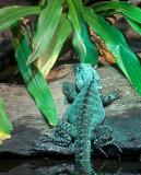 Water Dragon Sydney Aquarium_3.jpg