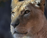Taronga Lioness.jpg