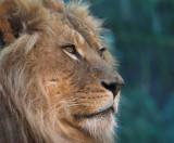 Taronga Lion.jpg
