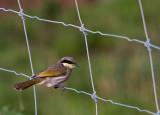 Bird On Wire Fence.jpg