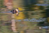 Duckling_5.jpg