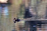 Duckling_3.jpg
