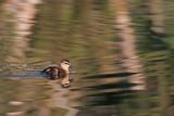 Duckling_4.jpg