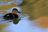 Duckling_7.jpg