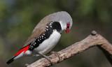 Diamond Firetail Finch