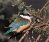 Sacred Kingfisher with Attitude.jpg