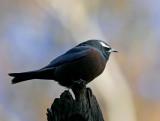 White Browed Woodswallow.jpg