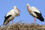 Marrakesh has rather a lot of storks