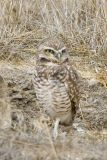 family_owls
