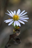 California Aster (Aster chilensis)