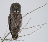 Chouette Lapone - Great Grey Owl (