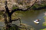 Rowing under the Sakura