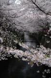 Sakura Trees on Meguro River