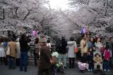 Japanese people since early morning watching the Sakura trees