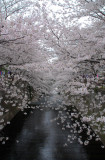 Blooming Cherry Blossoms are at their peak