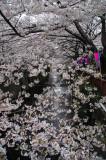 Sakura trees have its beauty