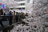 Sakura watchers and admirers