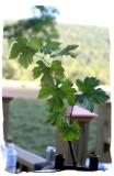 grape leaves..