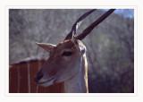 Kudu minore (Tragelaphus imberbis)