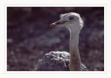 Ostrich - Struzzo (Struthio camelus)