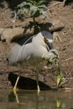 Black-crowned Night-Heron eating Great Egret
