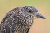Yellow-crowned Night-Heron