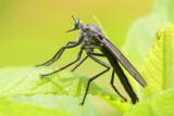 Microstylum morosum (male)