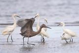 Egrets (Reddish and Snowy)