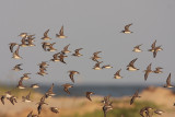 Peeps (mostly Western Sandpiper)