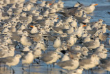 Laughing Gulls and Royal Terns