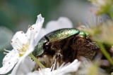 Metallic Green Chafer Beetle