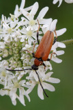 Stictoleptura rubra (a female)