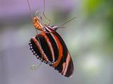 Orange Banded Heliconian (Dryadula phaetusa)