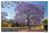 Jacaranda Splendour