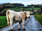Anarchic young cow...gasp...he's a bull!
