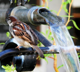 Sparrow in the Shower 1