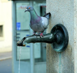 Thirsty Pigeon 3