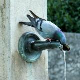 Thirsty Pigeon 2