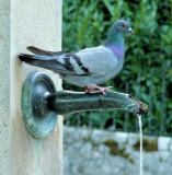 Thirsty Pigeon 1