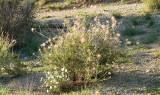 Apache Plume, Fallugia paradoxa and ~Blackfoot, Melampodium leucanthum [white]