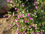 Four-o'clock, Mirabilis multiflora
