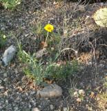 Desert Marigold, Baileya multiradiata