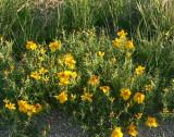 Wild Zinnia, Zinnia grandiflora