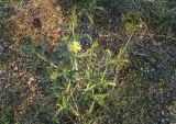 Blazing Star or Stickleaf Mentzelia multiflora